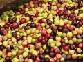 olivas recogida