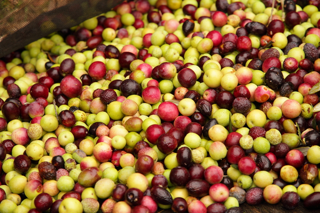 olivas cultivo ecológico
