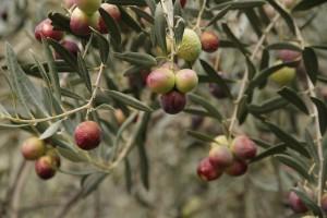 rama olivo